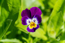 Pansy Flower Happily Greets Us...