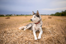 Husky Dog lying On A Sheaf Of Hay On A Mown Field Of Wheat In The Summer At Sunset, In The Countryside