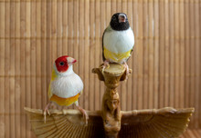 Two Gouldian Finches - Yellow Red-headed And Green Black-headed.