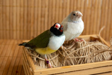 Two Different Colored Gouldian Finches Perched On A Small Crate With String. On Bamboo Background.