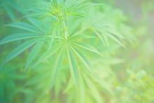 Closeup Image Of Marijuana Plant. Cannabis Green Leaf For Medicine