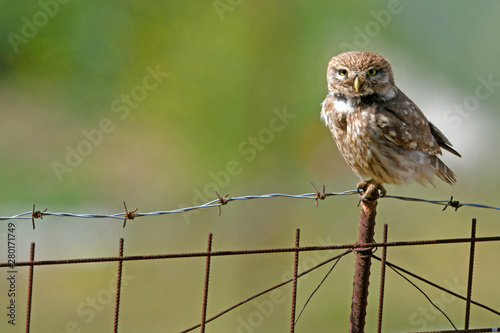 Door stickers Owl Steinkauz (Athene noctua) - Little owl
