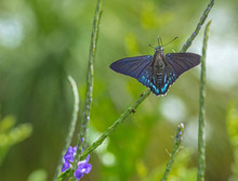 Mangrove Skipper Enjoying The ...