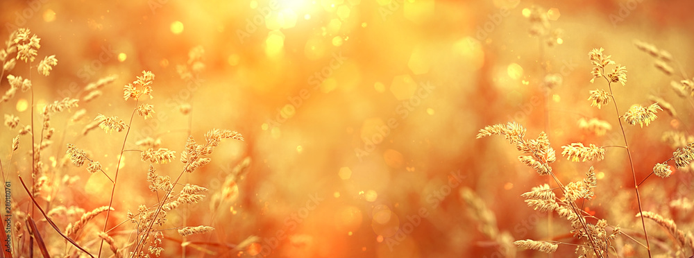 Beautiful golden field meadow grass, in sunset rays, nature summer landscape, close up macro. gentle pastoral rural artistic image. summer autumn season. banner Wide format, copy space. soft focus
