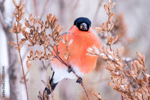 Leinwand Poster bird bullfinch red chest close-up on the background of branches in winter