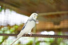 White Budgie Parrot Pet Bird O...