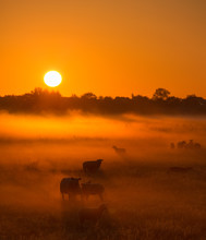 Sheep In A Field On A Autumn Morning With Warm Sunlight And Fog - A Beautiful Sunrise In The Countryside