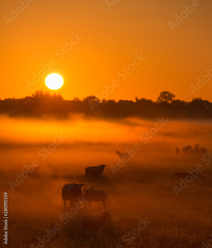 Autocollant pour porte Orange eclat Sheep in a field on a Autumn morning with warm sunlight and fog - A beautiful sunrise in the countryside