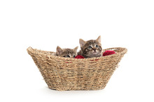 Two Tabby Kittens In A Basket