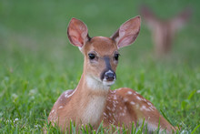 White-tailed Deer Fawn Bedded ...