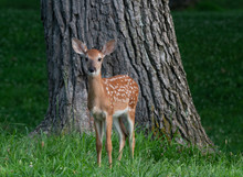 White-tailed Deer Fawn In Late Evening