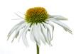 canvas print picture - Sonnenhut / Echinacea als Freiteller