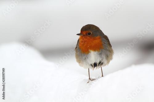 robin in snow Wallpaper Mural
