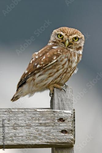 Montage in der Fensternische Eule Steinkauz (Athene noctua) - Little owl