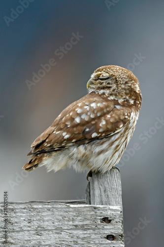 Montage in der Fensternische Eule schlafender Steinkauz (Athene noctua) - Little owl