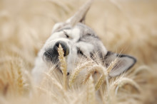 Gray Dog Playing In A Wheat