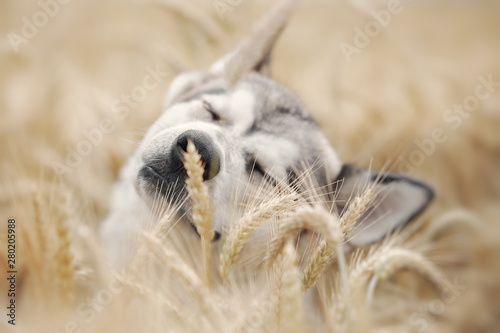 Foto Gray dog playing in a wheat