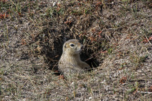 Cute Gopher Looks Out Of The Hole In The Steppe. Around Dry Grass
