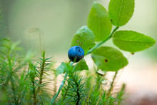 Wild Forest Fruits Botanical Identity Macro Background Fine Art In High Quality Prints Products Fifty Megapixels Vaccinium Myrtillus Family Ericaceae