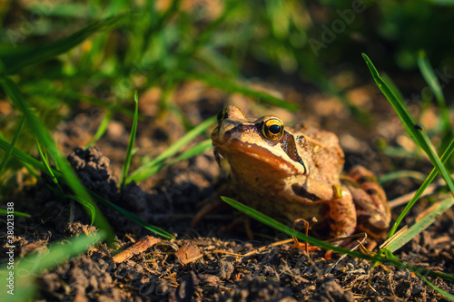 Photo Agile frog on brown ground