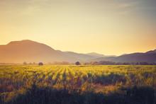 Vintage Sugar Cane Field At Sunset