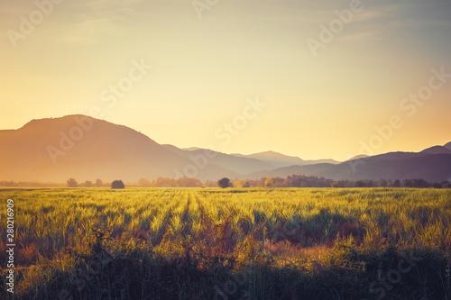 Fotografering Vintage Sugar Cane Field at Sunset