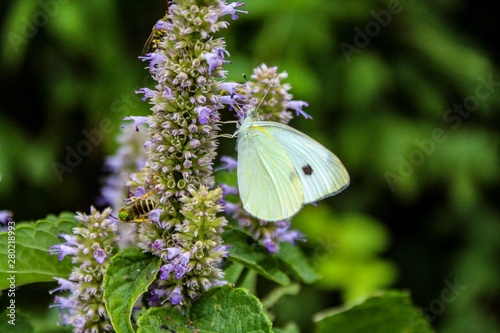 Cabbage White Butterfly Pieris rapae