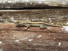 A Sand Brown Coloured Lizard L...