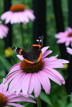 Red Admiral Butterfly On Conef...