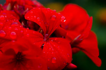 Red Geranium Flower With Raindrops On The Petals
