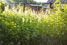 Dense Thickets Of Green Nettle Illuminated By The Sun
