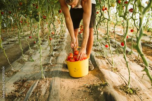 Fotografie, Obraz  Farmer picking tomato in greenhouse