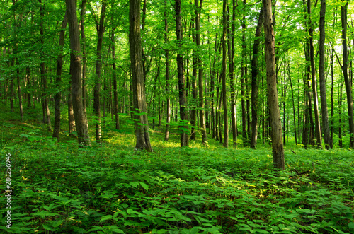 Foto op Canvas Groene Sunlight in the green forest, spring time