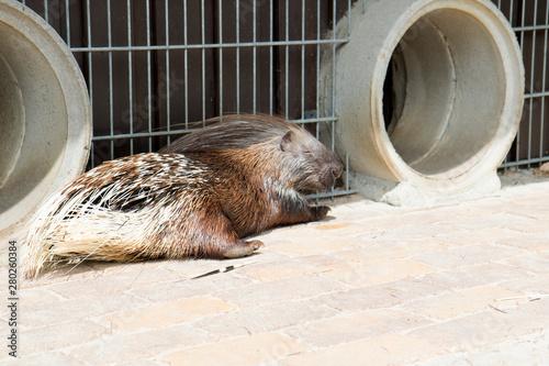 Valokuva  seitenansicht eines stachelschweines im tierpark thüle friesoythe deutschland fo