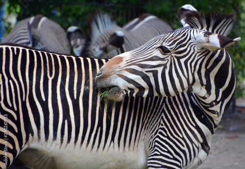Poster Zebra Burchell's zebra is a southern subspecies of the plains zebra. It is named after the British explorer William John Burchell. Common names include bontequagga, Damara zebra and Zululand zebra