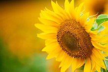 Sunflower Field - Bright Yellow Flowers, Beautiful Summer Landscape