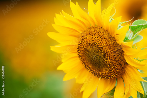 Poster de jardin Tournesol Sunflower field - bright yellow flowers, beautiful summer landscape