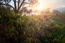 Milk Thistle On Side Of Rural Pathway Near River At Foggy Sunrise.