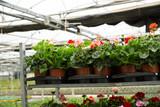 Geranium flowers carefully growing in flowerpots in glasshouse farm