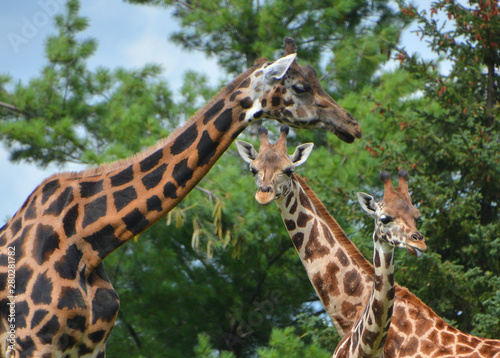 The giraffe (Giraffa camelopardalis) is an African even-toed ungulate mammal, the tallest of all extant land-living animal species, and the largest ruminant Canvas Print