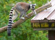 The Ring-tailed Lemur (Lemur C...