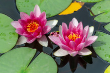 Pink Fresh Lotus Blossom Or Water Lily Flower Blooming On Pond
