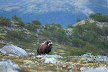 Muskox, Ovibos Moschatus, Norway, Dovrefjell National Park