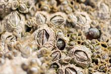 Closeup Of Acorn Barnacles (Se...