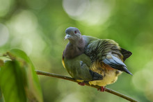 Portrait Of A Green Pigeon, Indonesia