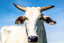 Head Of Nelore Cattle With Blue Sky Background