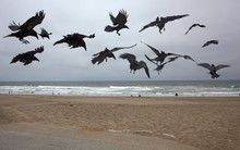 Flock Of Crows Or Ravens Flyin...