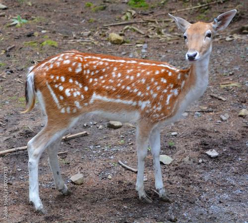 The fallow deer (Dama dama) is a ruminant mammal belonging to the family Cervidae Wallpaper Mural