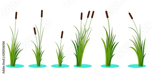 Set of variety reeds with leaves on stem. Reed plant. Flat vector illustration isolated on white background. Clip art for decorate cartoon - 280306386