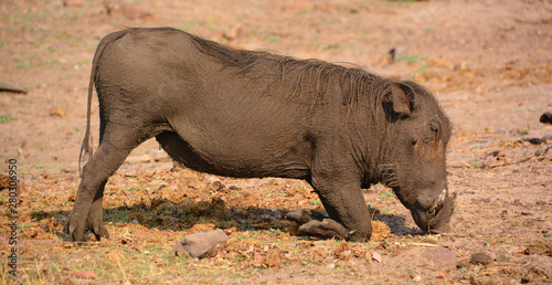 Photo  Warthog or Common Warthog (Phacochoerus africanus) is a wild member of the pig f